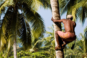 Deft indian man picking coconut