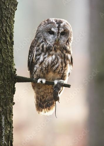 Keuken foto achterwand Uil Eurasian tawny owl 6