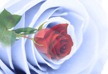 blue and red rose