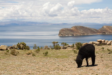 Sheep on Isla del Sol - Titicaca