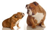 puppy love - two english bulldogs reaching out for affection poster