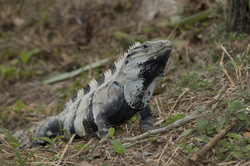 Iguana IV