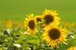 Three sunflowers in a green field