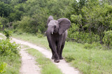 Young Elephant Mock Charging on safari in south africa. poster