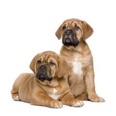 Dogue de Bordeaux puppy (2 months)