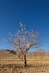 Almond trees flowering