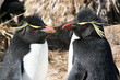 GORFOU SAUTEUR (Falkland/Malouines)