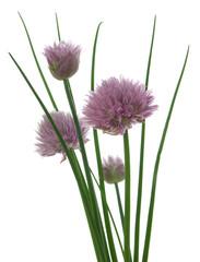 Schnittlauch in Blüte/jive in bloom