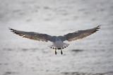 oiseau marin mouette plume atterissage aile déployer planer poster