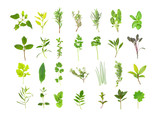 Fototapety Large Herb Leaf Selection