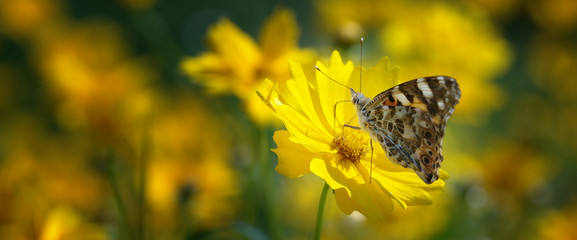 Painted lady butterfly on mums