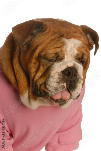 bulldog with sour face as though tasting something awful