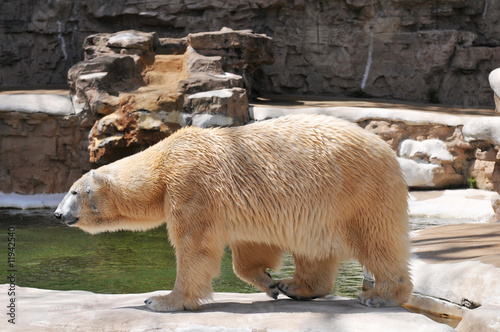 Polar bear walking at the zoo