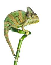 Chameleon na bambus
