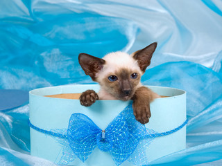 Cute pretty Siamese Oriental kitten sitting in blue gift box