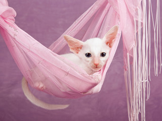 Cute pretty Siamese Oriental kitten sitting in pink hammock