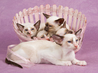 Cute pretty Siamese Oriental kittens in basket on pink fabric