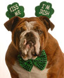 st. patricks day - bulldog wearing kiss me im irish headband