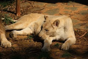 White lion,lions