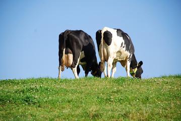 Milchkühe auf Weide/dairy cows on hill crest