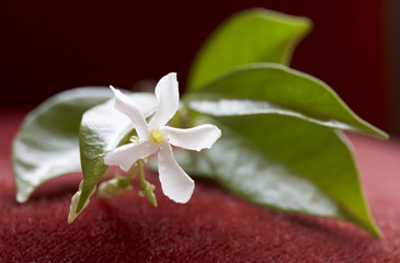 sprig of jasmine with flower