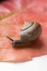 snail on red vine leaf
