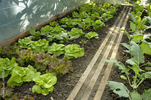 lettuce plants and kohlrabi in a greenhouse