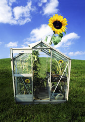 a sunflower growing out of a greenhouse