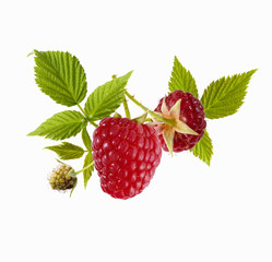 fresh raspberries on stalk