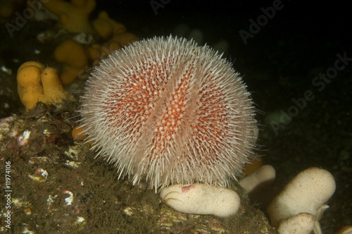 Common or edible sea urchin