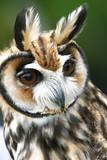 a earned owl  (Rhinoptynx clamator) poster