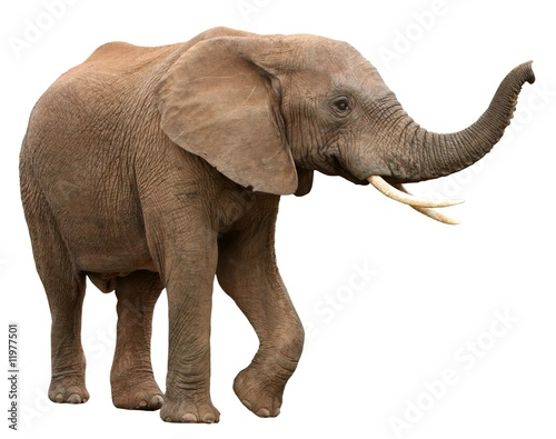 Tuinposter Olifant African Elephant Isolated on White