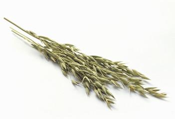 freshly picked ears of oats