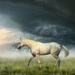 roleta: White horse in misty evening