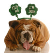 St. Patricks Day dog - bulldog wearing kiss me i'm irish band
