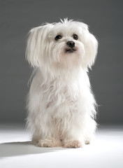 White Maltese on dark background