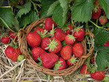 Korb mit Felderdbeeren/freshly picked strawberries