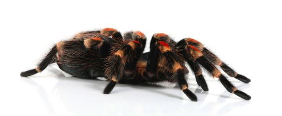 red tarantula