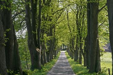 Baumallee in Niedersachsen, Deutschland