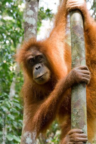 Fototapeten,orangutan,blick,monkey,rainforest