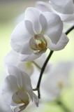 Fototapety Orchidée blanche