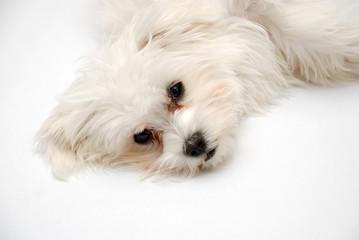Maltese puppy portrait