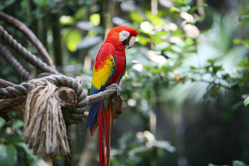 Parrot macaw in nature