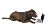 Clever Labrador Retriever on Laptop poster