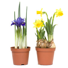 Iris and daffodils in pots, isolated