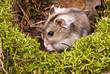 little dwarf hamster