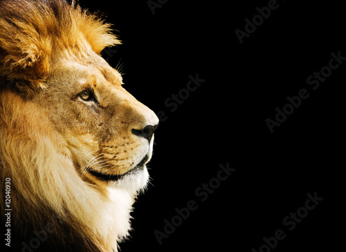 Poster Lion portrait with copy space on black background