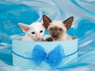 Cute pretty Siamese Oriental kittens in blue gift box