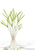 Bamboo Leaf Grass Beauty