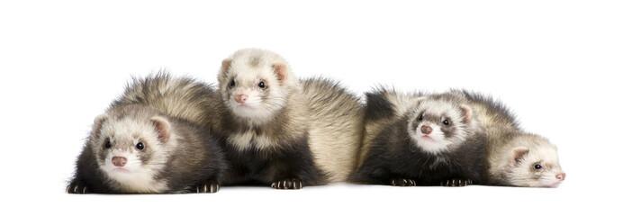 ferrets in a row - Mustela putorius furo